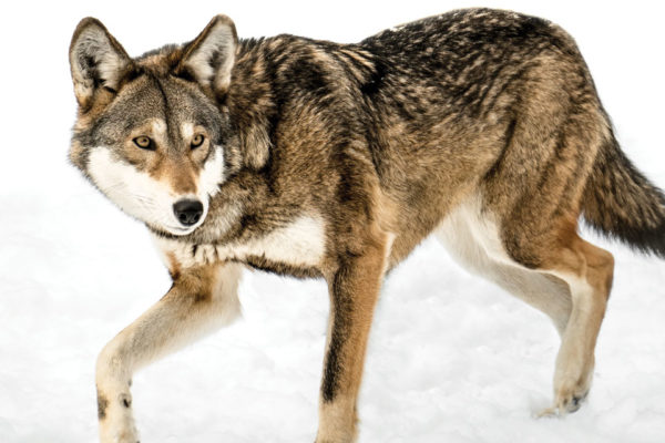 Calling All Defenders of Wildlife!   Part 1: The Red Wolf