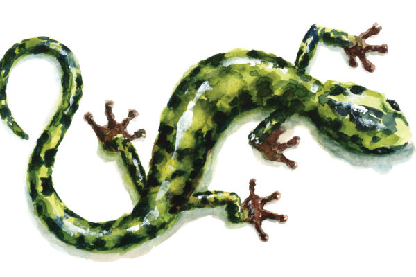 Calling All Defenders of Wildlife:  Part 2: The Green Salamander