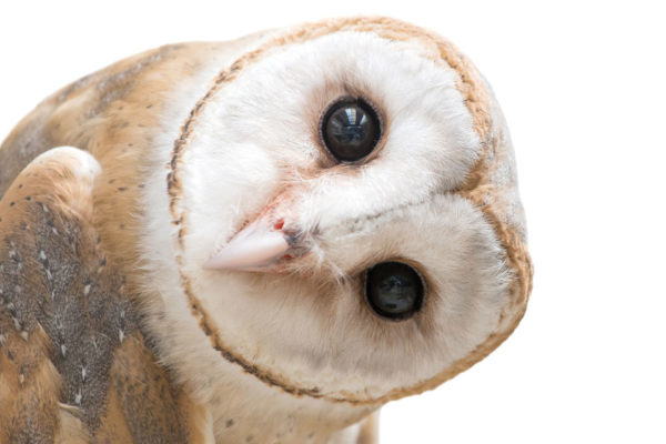 Calling All Defenders of Wildlife:  Part 3: The Barn Owl