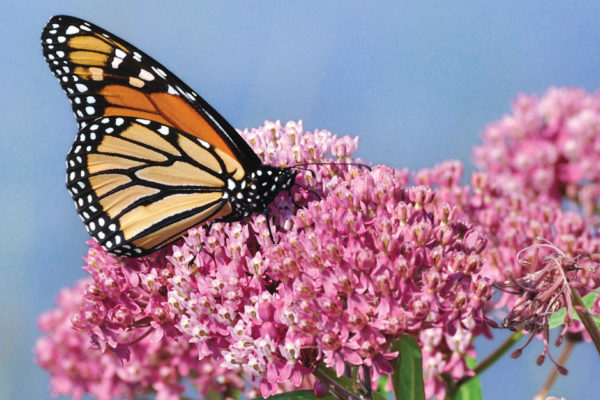 Help Save the Monarch Butterflies