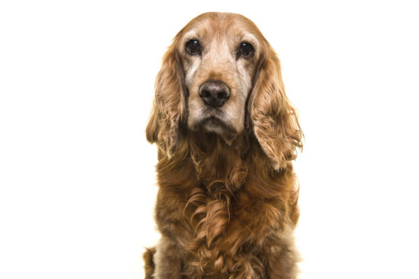 Care for the Senior Canine