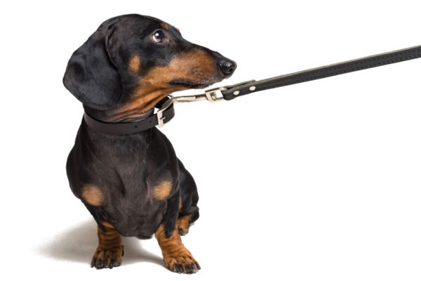 Dog Collars, Leads, and Injuries