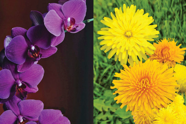 The View from My Section – A Father's Perspective The Orchid and the Dandelion, each Beautiful in its Own Way